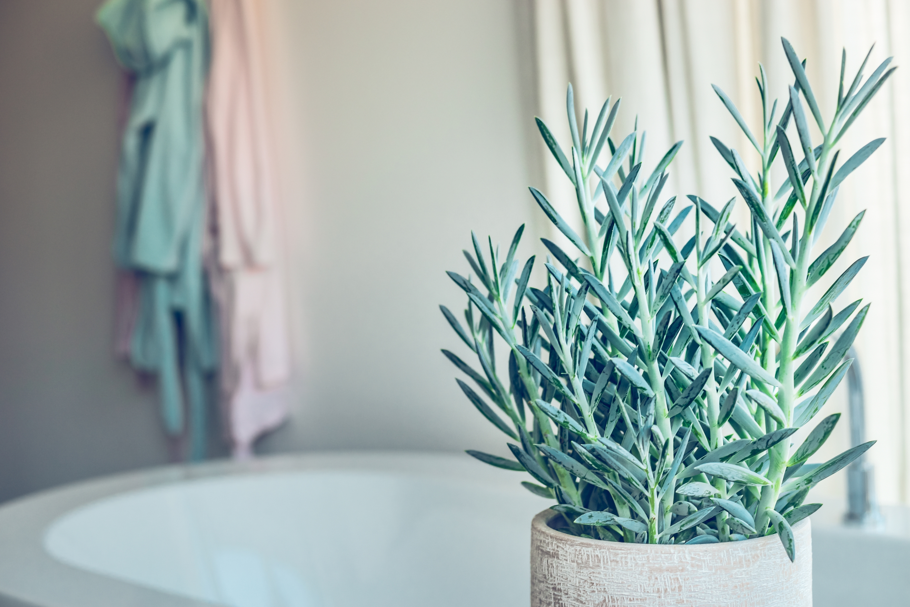 house green plant succulent Senecio serpens or Blue Chalksticks in bathroom close up